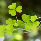 Shamrock-three Leaf Clover's