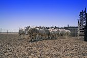 Ewes go Shed