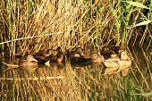 stock photo of bulrushes  - Wild ducks swimming in a swamp among bulrushes - JPG