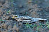 Burhinus oedicnemus (Eurasian Thick-knee, Eurasian Stone-curlew , Stone Curlew ) in natural habitat