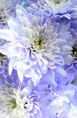 Macro Of White And Blue Flower Aster
