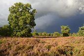 Landscape with heather (Calluna vulgaris)