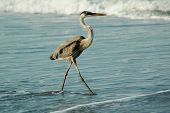 stock photo of florida-orange  - A graceful Great Blue heron walking along a Florida beach searching for food.