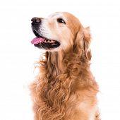 purebred golden retriever dog sitting on isolated white background poster