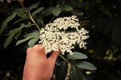 Hand Picking Elderflowers