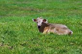 foto of charolais  - Charolais calf nestles down in the green grass on the Big Island of Hawaii. He has one horn on the left side of his head.