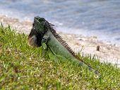 Alert Green Iguana Displaying Neck Dewlap