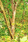 Autumn Overtakes The Crepe Myrtlemyrtle, crepe, tree, bark, trunks, pattern, texture, closeup, leaf,