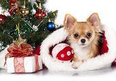 Chihuahua in Santa hats