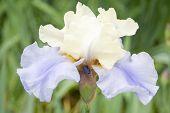 Iris 'Haut Les Voiles'