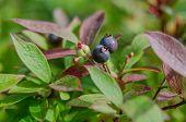 Wild Blueberries On Bush