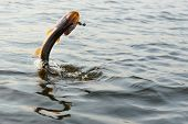 Hooked pike is jumping out of water, motion blur