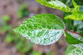 Beautiful Green Leaf Background In Garden