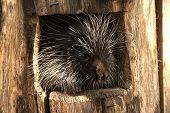 Porcupine In A Tribe.
