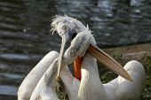 Playful Pelicans.