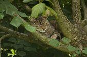 Wild Cat Lazily In The Tree.