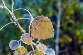 Leaves With Hoar Frost In Winter