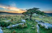 Windswept Trees On Dartmoor