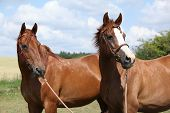 Two Chestnut Horses Standing Together
