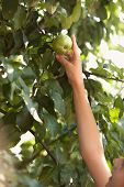 Photo Of Young Girl Reaching Growing High Apple
