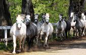 stock photo of lipizzaner  - Beautiful white Lipizzan horses running - JPG