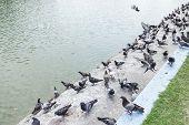 Pigeons at pool edge