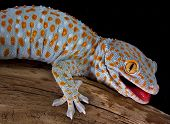 pic of tokay gecko  - A tokay gecko is opening his mouth in a threatening gesture - JPG