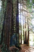 redwood trees with sunlight