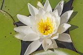 White Water Lily On A North Woods Lake