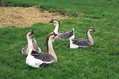 African Geese. African goose