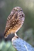 Western Burrowing Owl, Close Up, California