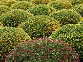 Cultivated Manicured Chrysanthemum Houseplants