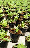 Transplanted Seedlings In A Nursery