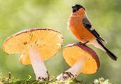 bullfinch Lovely Stand