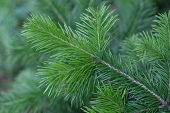 Natural spruce branches, needles closeup. Christmas greens