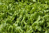Young seedlings of lettuce in the field