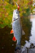 stock photo of chub  - Chub caught on a plastic bait against autumn foliage - JPG