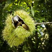 foto of spiky plants  - Chestnut coming out of their spiky outer shell - JPG