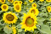 stock photo of sunflower  - Large happy sunflower and sunflower oil crop on a sunny day in the Tarn - JPG