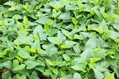 pic of potato-field  - fresh green sweet potato plants at field - JPG