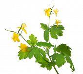 picture of celandine  - golden celandine flowers isolated on white background - JPG