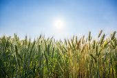 foto of fall-wheat  - wheat field with clear blue sky background - JPG