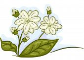 stock photo of jasmine  - Illustration of a Bunch of Jasmine Flowers in Full and Mid Bloom  - JPG