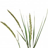 image of tall grass  - ELYMUS LEYMUS ARENARIUS Plant Grass Isolated on white background - JPG