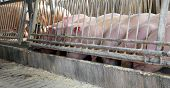 stock photo of pig-breeding  - young pigs drink in the watering place of the breeder - JPG