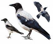 Corvus Cornix, Hooded Crow