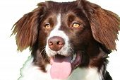 image of cross-breeding  - very cute liver and white collie cross springer spaniel pet dog - JPG