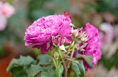 picture of lilac bush  - blossoming bush with lilac roses in a garden - JPG