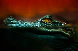 picture of alligator  - crocodile alligator crocodile eyes lookingclose up - JPG