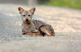 stock photo of jackal  - Golden Jackal Asiatic Jackal Canis aureus Wildlife of Thailand  - JPG